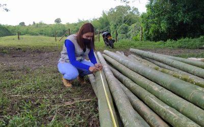 Un total de 755 piezas de guadua que fueron taladas de un predio en la vereda Kerman del municipio de Quimbaya sin los permisos de la autoridad ambiental